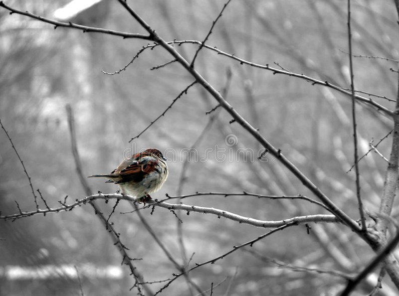 Sparrow Obrazy Royalty Free