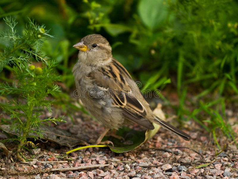 Download Sparrow stock image. Image of gray, matricary, camomile - 10544049