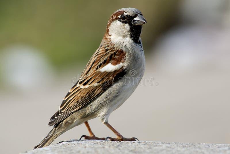 Sparrow-5 zdjęcie stock