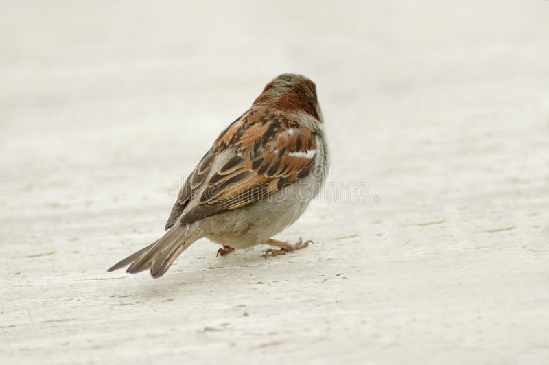 Download Sparrow stock photo. Image of alone, birds, lonely, small - 117294