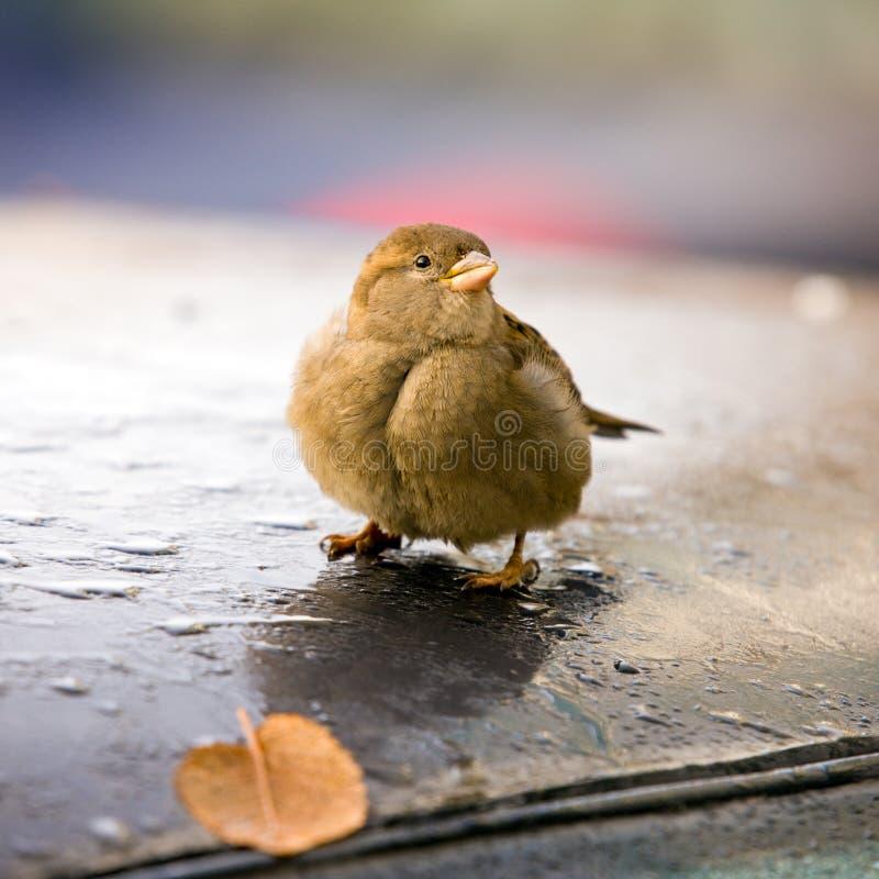 sparrow arkivfoton