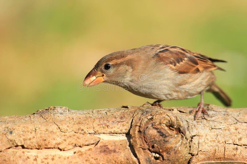 sparrow royaltyfria foton