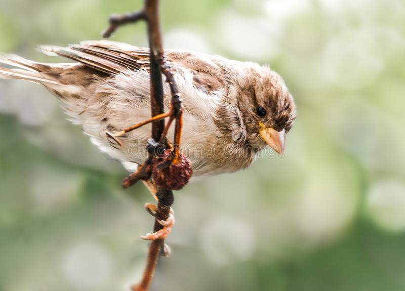 Sparrow stock photography
