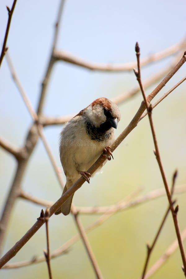 sparrow zdjęcie stock