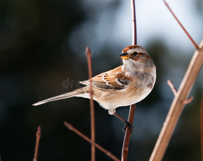 Sparrow. A tree sparrow perched on a tree branch stock images