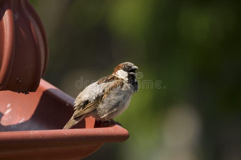Sparrow Free Stock Photo
