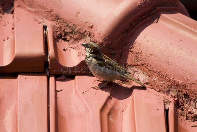 Sparrow Free Stock Image