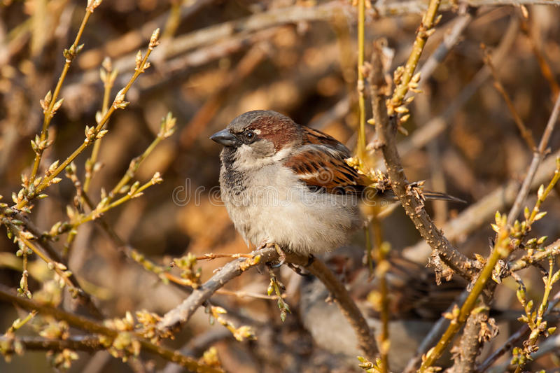 sparrow royaltyfria bilder