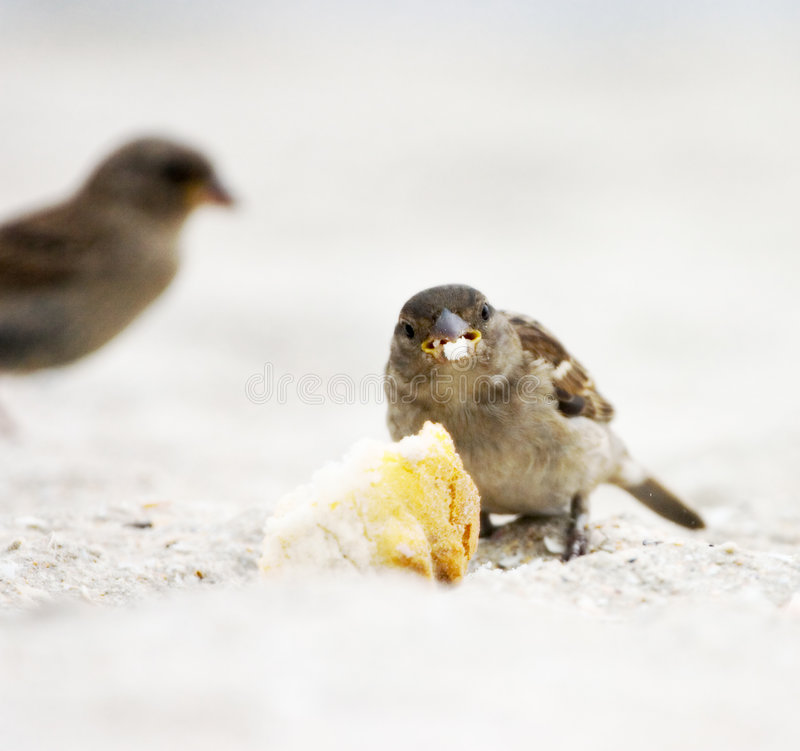 Download Sparrow stock photo. Image of feather, peck, crumb, food - 217540