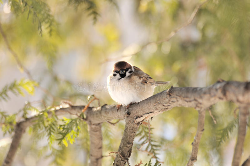 Sparrow. Little sparrow on a tree royalty free stock photos