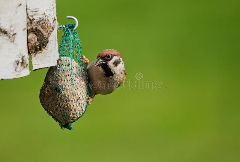 Download Sparrow stock photo. Image of nature, eating, passer - 23487232