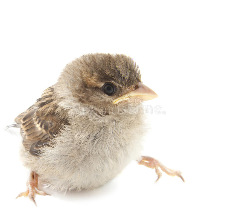 Download Sparrow stock image. Image of photo, background, domesticus - 25733691