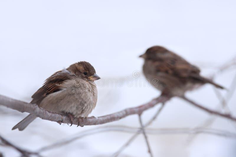 Sparrow royaltyfri foto