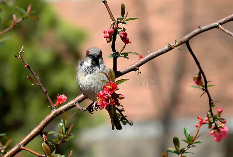 Sparrow-2 fotografie stock libere da diritti