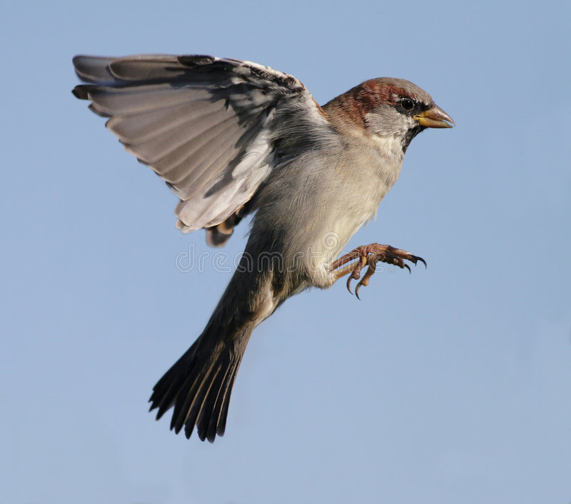 Download Sparrow stock photo. Image of flying, midair, feathery - 3182074