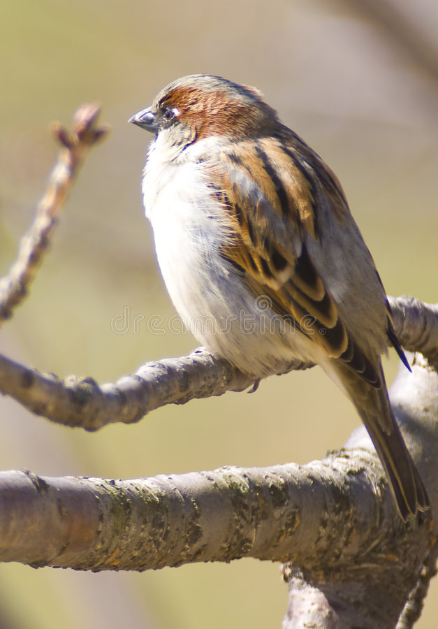 sparrow fotografia royalty free
