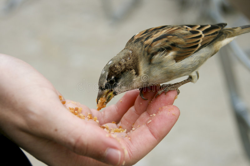 Sparrow stock photos