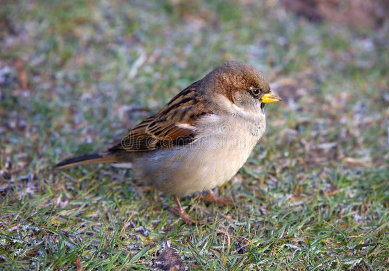 sparrow royaltyfri bild