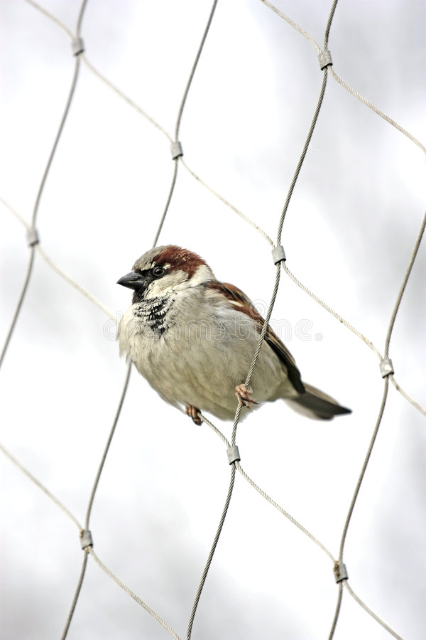 Download Sparrow stock photo. Image of feathers, perched, ordinary - 8734952