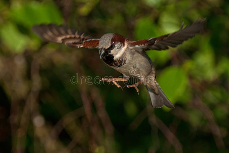 Sparrow in the air 1 stock image