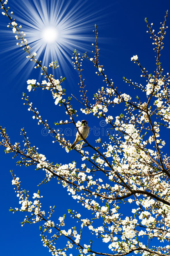 Sparrow, amazing sun and blooming plum by spring. royalty free stock photo