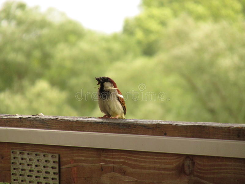 Sparrow. On the balcony stock photography