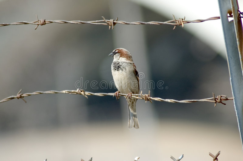 Download Sparrow on Barbed Wire stock photo. Image of feathers, perched - 100378