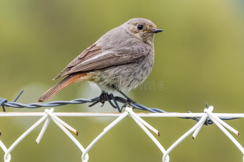The sparrow on barbed wire. The grey sparrow sitting on a barbed wire with a green background royalty free stock images