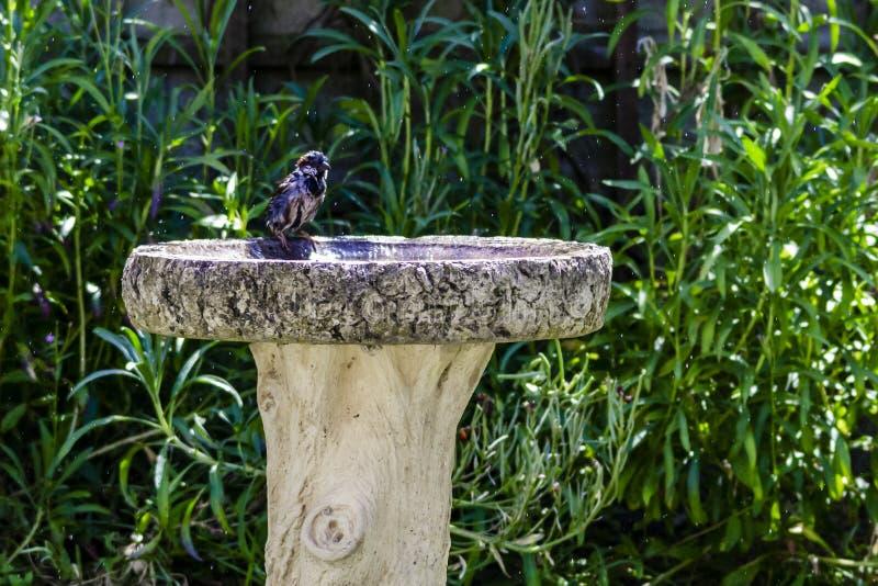 Sparrow bathing in birdbath stock photos