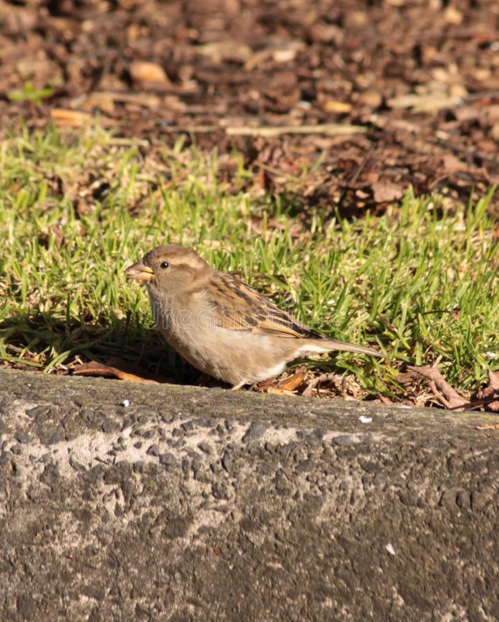 Download Sparrow bird stock illustration. Illustration of wing - 10200335