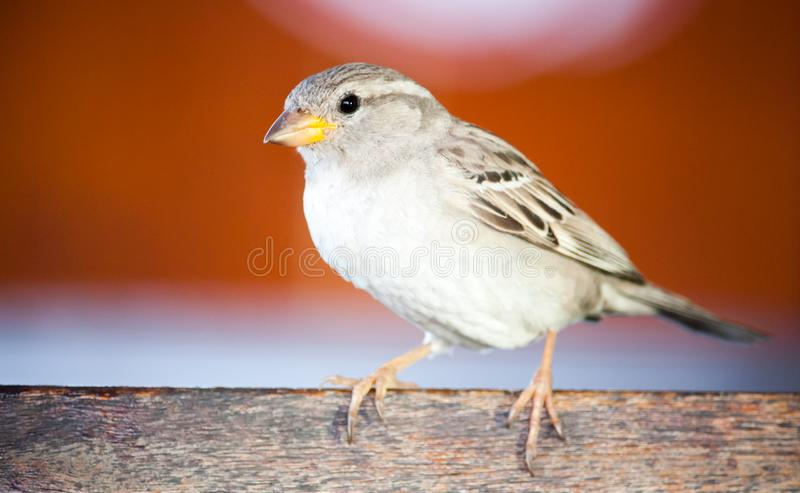Sparrow bird close portrait. Sparrow songbird family Passeridae sitting and singing on wooden board close up photo royalty free stock images