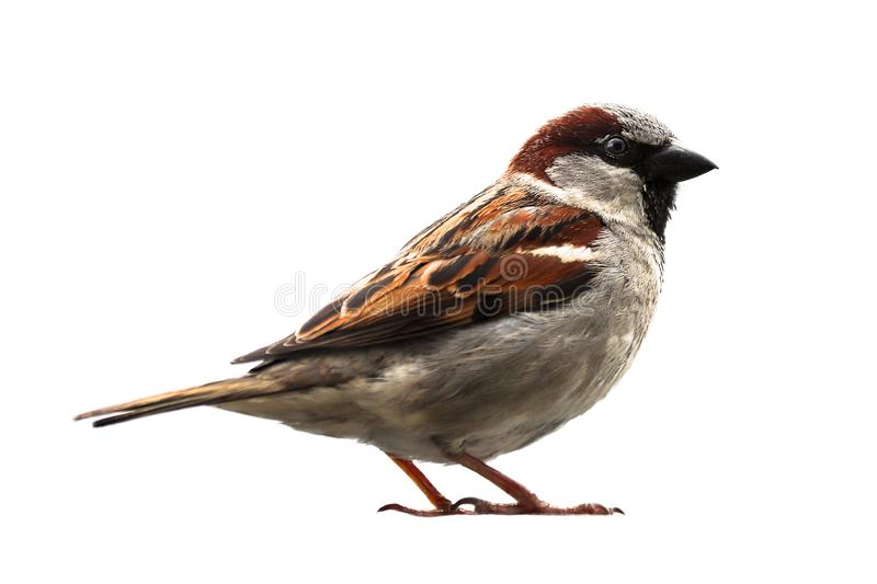 Sparrow bird isolated. Sparrow songbird family Passeridae sitting perching isolated cut out on white background close up photo. royalty free stock photo