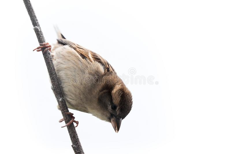 Sparrow bird isolated. Sparrow songbird family Passeridae sitting perching on dry sunflower stem isolated cut out on white backg. Round close up photo. Bird royalty free stock images