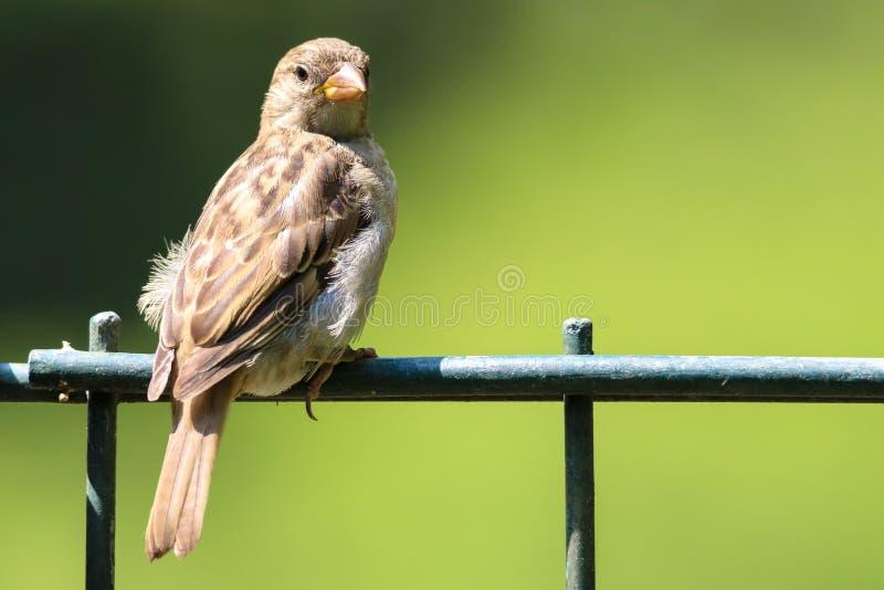 Sparrow bird na płocie Sparrow songbird rodzina Passeridae siedzą i śpiewają na metalowym ogrodzeniu blisko zdjęcia obraz stock