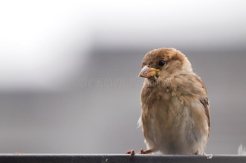 Sparrow bird perched sitting on fence. House sparrow songbird Passer domesticus sitting and singing on metal fence close. Up photo with out of focus grey simple stock images