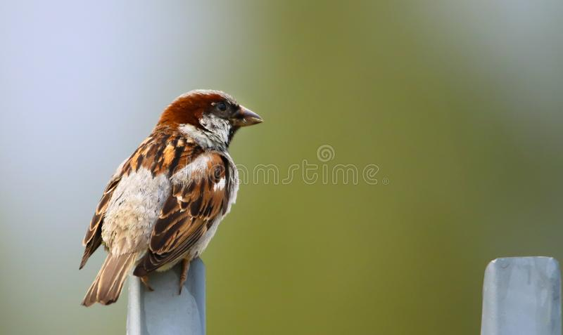 Sparrow bird perched sitting on fence. Sparrow songbird Passer domesticus sitting and singing on metal fence close up photo stock photos