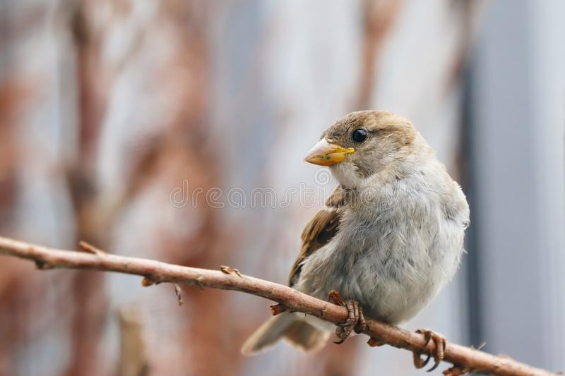 Sparrow bird perched sitting on tree branch. House sparrow songbird Passer domesticus sitting and singing on dried brown wood stock photo