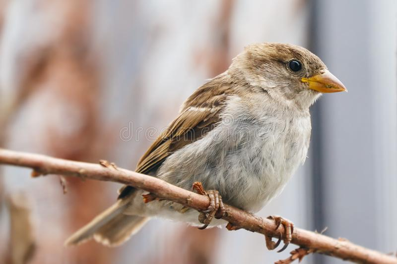 Sparrow bird perched sitting on tree branch. Sparrow songbird Passer domesticus sitting and singing on dried wood branch stock photos