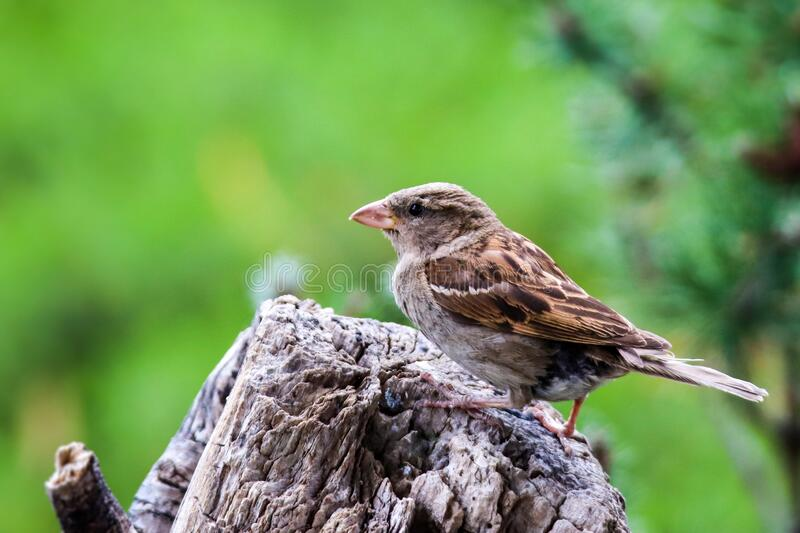 Sparrow bird perched sitting on tree. Male house sparrow songbird Passer domesticus sitting and singing on tree trunk stock images
