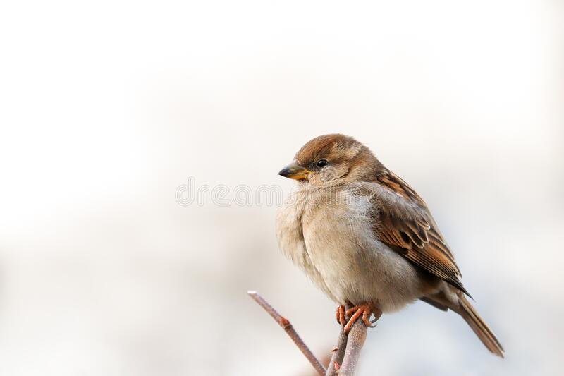 Sparrow bird perched on tree branch. House sparrow female songbird Passer domesticus sitting singing on brown wood branch royalty free stock images