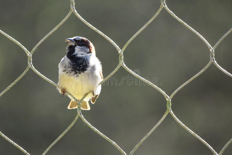 Sparrow bird perching in one of the loops of a tall wire fence in sunshine. A close up photograph of a sparrow perched in the loop of a perimeter fence able to stock image