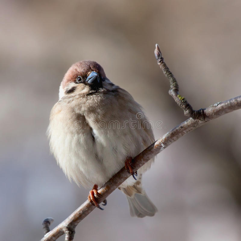 Sparrow royalty free stock image