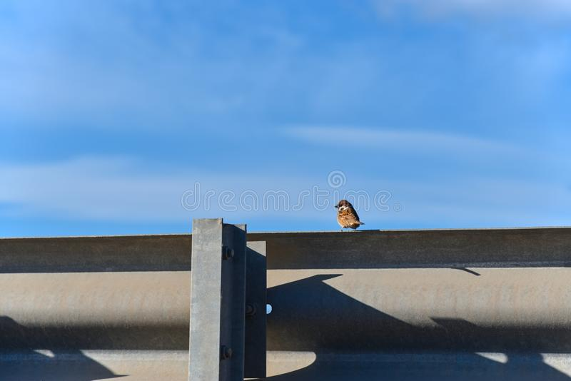 Sparrow bird sitting on a road fence and looks aside royalty free stock images