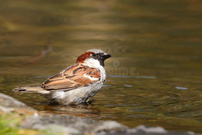 Sparrow bird sitting on water pond. Sparrow songbird family Passeridae refreshing, drinking and bathing inside clear water pond stock image