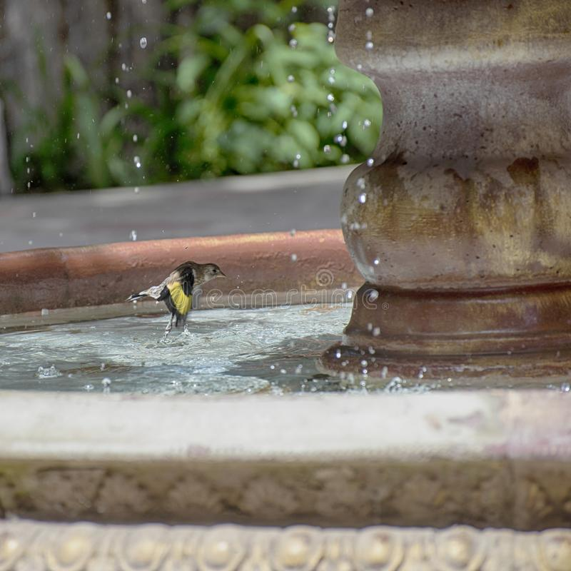 Sparrow bird splashes in the water of a large garden fountain royalty free stock photography