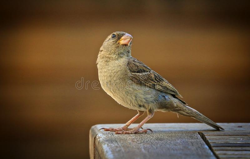 Sparrow bird. Tan brown black feathered bird perched on royalty free stock photography