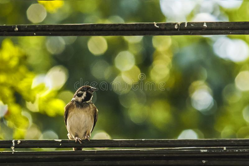 Sparrow when the birds return. Passer domesticus set free stock photo