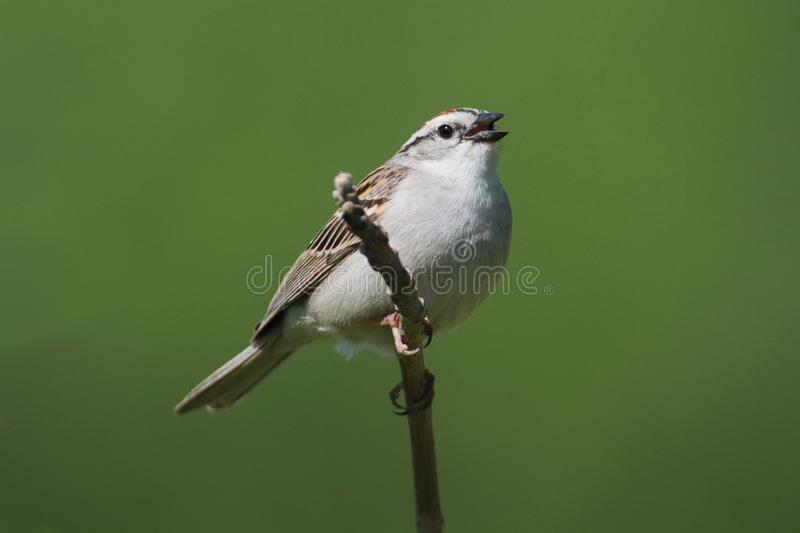 Sparrow On A Branch Singing stock photo