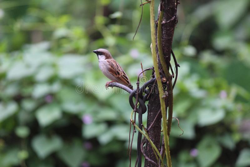 A sparrow on the branch. A sparrow is sitting on the branch of the tree. a good quality picture taken by a beginner photographer.This photo is the combination stock images