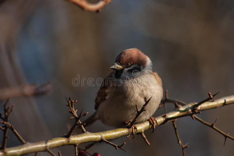 Download Sparrow on a branch. stock photo. Image of sitting, small - 83701226